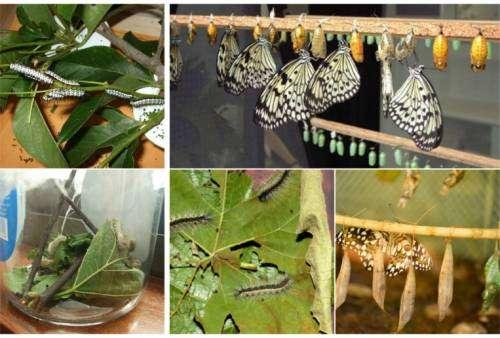 Бабочки разведение в домашних условиях 959
