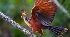 Чем удивляет птица гоацин?
