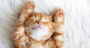 Как избавиться от сухости кожи у кошек?