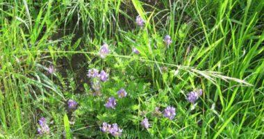 Почему астрагал называют травой жизни?