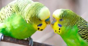 Как разводить волнистых попугаев в домашних условиях? Личный опыт
