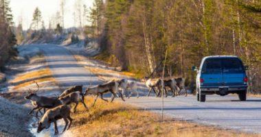 Что делать, если сбил лося (оленя, кабана…)?