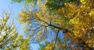 Почему ясень — священное дерево?