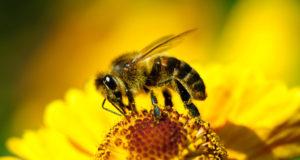 Медовая госпожа. Чем интересны безжальные пчёлы?
