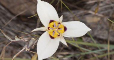 Калохортус — цветок, умеющий слушать. Как вырастить его в своем саду?