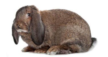 Разжигают ли кролики вожделение? Рэбик — пуп семьи
