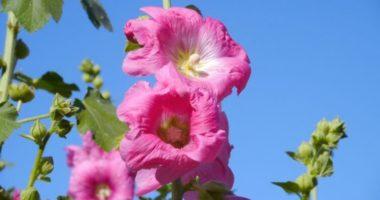 Что за растение — алтей?