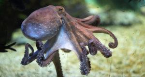 Как живут осьминоги? Интересные факты о спрутах