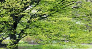 Граб, или Какое дерево побуждает человека к благовидным поступкам?