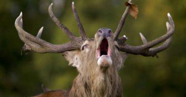 Что олень может сбросить, а обманутый муж — нет? Рога и их назначение
