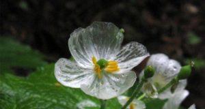 У какого цветка прозрачные лепестки?