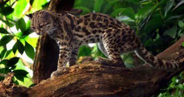 7 малоизвестных представителей семейства кошачьих