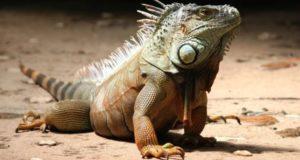 Чем опасны нечищенные зубы? Из жизни игуан