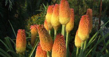 Как вырастить книпхофию — факельную лилию?