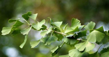 Гинкго — дерево жизни и надежды. Как его вырастить?
