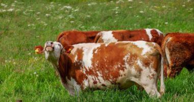 Как корова спасла людей, а они ее?