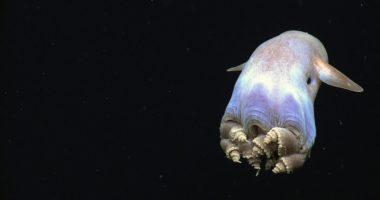 Новорожденный осьминог Дамбо: уникальное видео