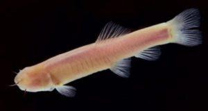 Пещерная рыбка из Сомали пролила свет на наше происхождение