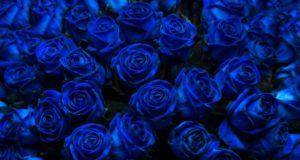 Как появились синие розы?