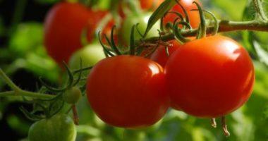 Кто такой синьор Помидор – овощ, фрукт или ягода? Ода любимому плоду