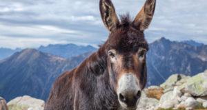 Легко ли быть ослом? Часть 1: чем осёл лучше лошади?