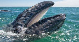 Зафиксированы контакты вымирающей и процветающей популяций серых китов