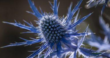 Синеголовник: как вырастить на даче  привидение английского сада?