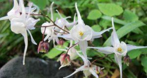 Как вырастить эпимедиум — сказочный цветок эльфов?