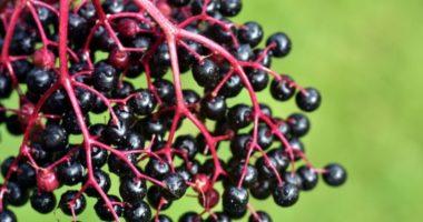 Что приготовить из ягод чёрной бузины?