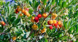 Почему арбутус — дерево-шептун?