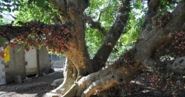 Почему сикомор называют деревом жизни?
