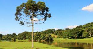 Дерево древности — араукария. Как вырастить его в квартире?