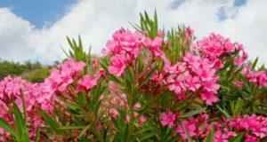 Какие декоративные растения могут быть смертельно опасными?