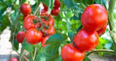 Безрассадный способ выращивания томатов. Чем он привлекателен для огородников?
