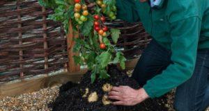 Что за растение — помидофель?