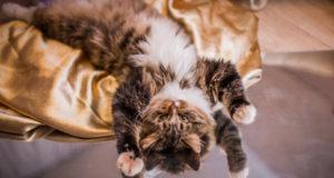 Почему кошки любят играть?