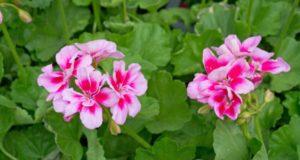 Успешное выращивание пеларгонии. Как цветок относится к воде?